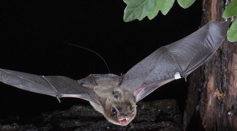 Suivre la migration des chauve-souris équipées d'émetteurs